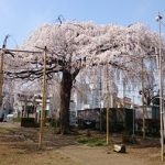桜が満開!枝垂桜が見事な須賀神社 川崎市多摩区栗谷
