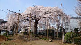 須賀神社の枝垂桜