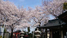 須賀神社 桜満開