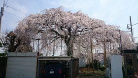 桜は日本の心